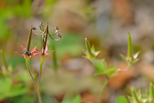 ゲンノショウコの種子の写真素材 [FYI02071128]