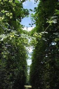 ホップの木の写真素材 [FYI02072048]