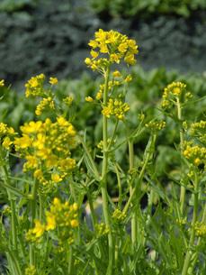 水菜の花の写真素材 [FYI02072142]