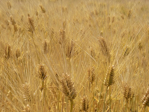 麦秋の六条大麦の写真素材 [FYI02072177]
