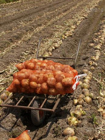 玉葱の収穫の写真素材 [FYI02072181]