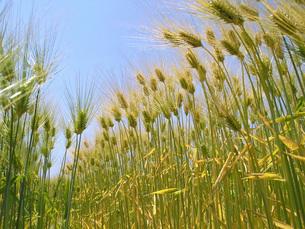 六条大麦の畑の写真素材 [FYI02072215]