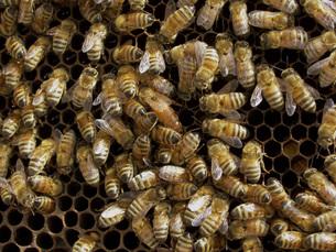 巣箱のミツバチの写真素材 [FYI02072321]