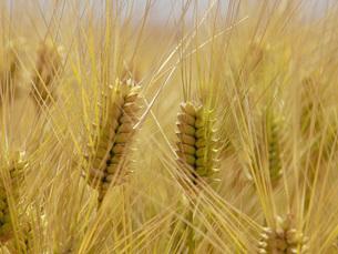 麦秋の六条大麦の写真素材 [FYI02072350]