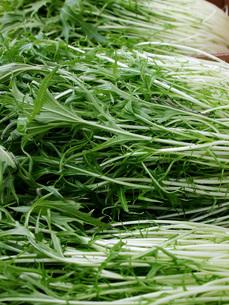水菜の収穫の写真素材 [FYI02072424]