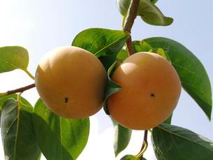 柿の写真素材 [FYI02072471]