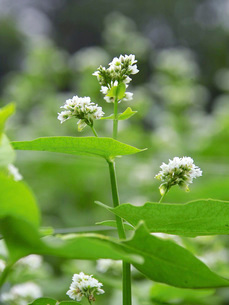白い蕎麦の花の写真素材 [FYI02072547]