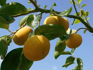 柿の写真素材 [FYI02072557]