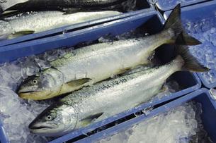 鮭の写真素材 [FYI02072615]
