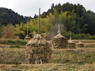 田圃に干された稲藁の写真素材 [FYI02072686]