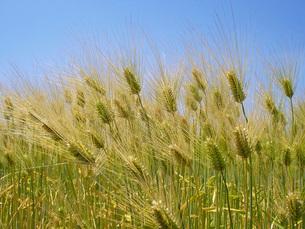 六条大麦の畑の写真素材 [FYI02072705]
