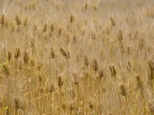 麦秋の六条大麦の写真素材 [FYI02072713]