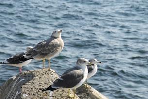 海鳥と羅臼の海の写真素材 [FYI02072886]