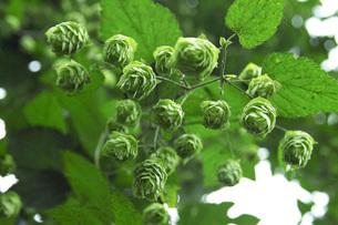 ホップの木と毬花の写真素材 [FYI02072940]