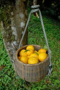 収穫後の水尾柚子(ミズオユズ)の写真素材 [FYI02073003]