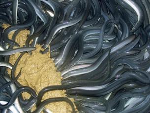 養殖の鰻の写真素材 [FYI02073015]
