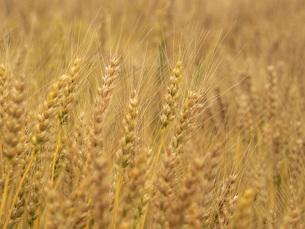 麦秋の小麦畑の写真素材 [FYI02073124]