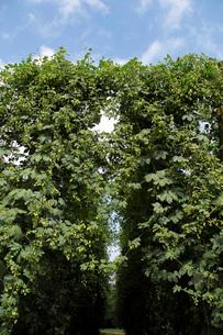 ホップの木の写真素材 [FYI02073199]