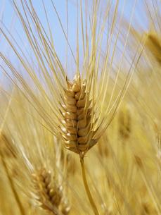 麦秋の六条大麦の写真素材 [FYI02073325]