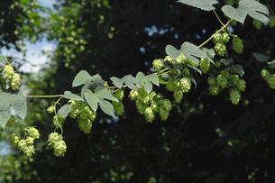 ホップの木と毬花の写真素材 [FYI02073383]