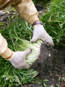 水菜の収穫の写真素材 [FYI02073389]