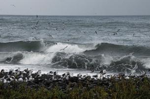 羅臼川河口の荒波と海鳥の写真素材 [FYI02073623]