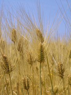 麦秋の六条大麦の写真素材 [FYI02073729]