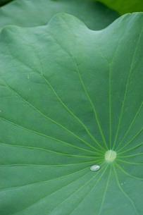 河内蓮根(カワチレンコン)の栽培の写真素材 [FYI02073771]