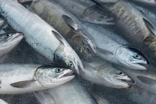 水揚げされた鮭の写真素材 [FYI02073806]