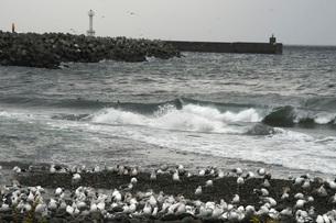 羅臼川河口の荒波と海鳥の写真素材 [FYI02073824]