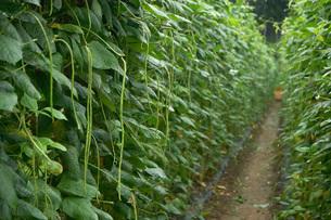 畑の柊野ささげ(ヒイラギノササゲ)の写真素材 [FYI02073842]