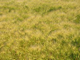 六条大麦の畑の写真素材 [FYI02073846]