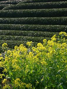 茶畑と菜の花の写真素材 [FYI02073899]