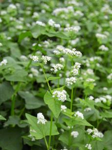 白い蕎麦の花の写真素材 [FYI02073916]