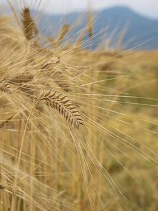 麦秋の二条大麦の写真素材 [FYI02073921]