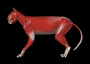 猫の筋肉解剖イメージのイラスト素材 [FYI02073943]