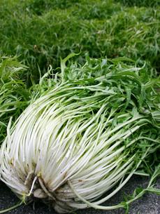 水菜の収穫の写真素材 [FYI02073987]