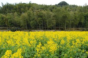 山城の竹林と菜の花 タケノコの写真素材 [FYI02074008]