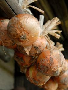 収穫後の玉葱干しの写真素材 [FYI02074079]
