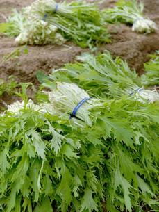 サラダ水菜の収穫の写真素材 [FYI02074105]