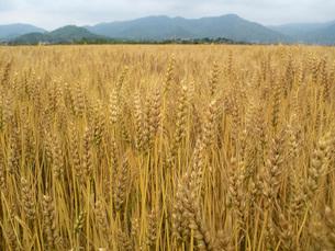麦秋の小麦畑の写真素材 [FYI02074170]