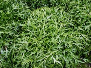 水菜の収穫の写真素材 [FYI02074393]