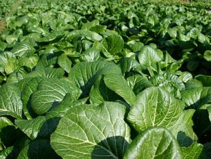 畑の小松菜の写真素材 [FYI02074442]