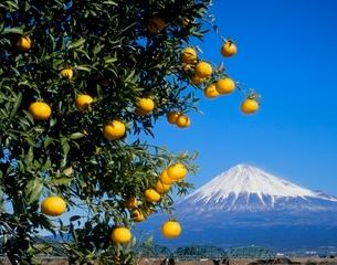 富士市中之郷のミカンと富士山の写真素材 [FYI02074532]