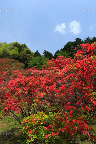 松阪市荒滝のツツジの写真素材 [FYI02074568]