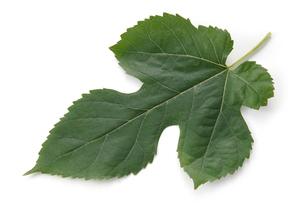 桑の葉の写真素材 [FYI02074572]