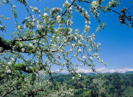 小川村成就のリンゴの花と鹿島槍ヶ岳の写真素材 [FYI02074641]