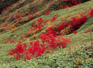 高山村山田峠のナナカマド紅葉の写真素材 [FYI02074654]