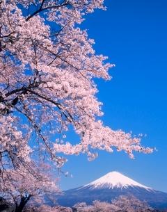富士宮市上柚野のサクラと富士山の写真素材 [FYI02074662]