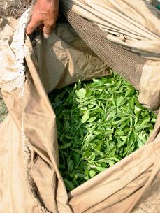 収穫後の茶葉の写真素材 [FYI02074663]
